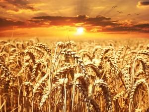 Ag Watch Market Advisors: grain market strategies from expert market advisors
